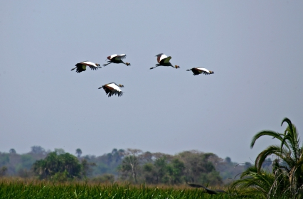 KAT185D Crested cranes Chorangwa Swamp