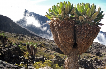 KilimanjaroGroundsel3