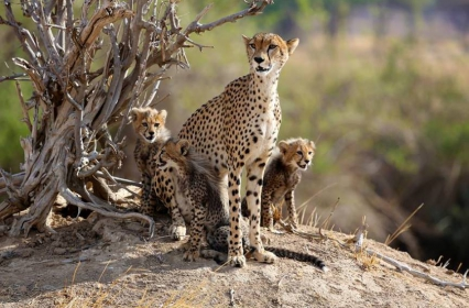 Mama Cheetah and cubs – Ruaha NP