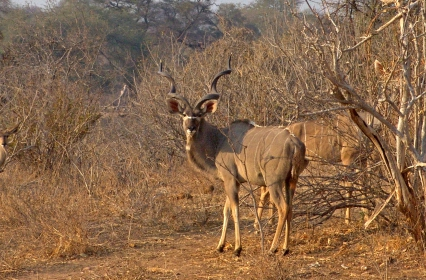 RUA066M kudu